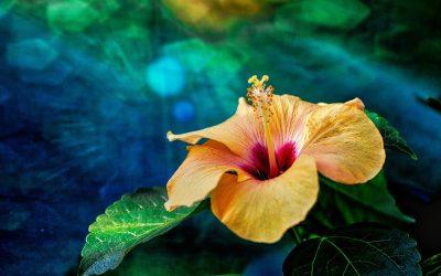 Hibiscus : tout savoir sur cette plante tropicale
